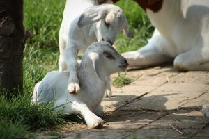 Saturday Evening Goat Yoga at Chip-In Farm
